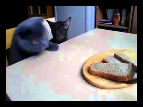 Gatos robando pan. Cats steal bread