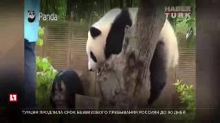 В зоопарке Стамбула панда кусает посетителей, когда те пытаются сделать селфи