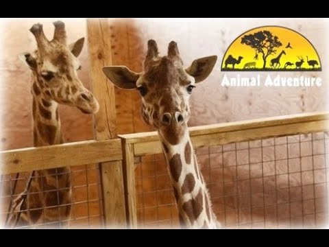 3 Things You Must See: April the Giraffe had another baby on Saturday.