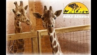 April The Giraffe Cam   Animal Adventure Park