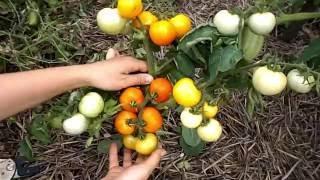 видео Томат Екатерина Великая F1: характеристика и описание сорта, урожайность с фото