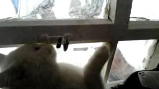 кот атакует окно!!!