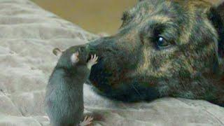 Пёс подружился с Мышонком