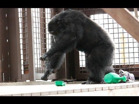 Chimpanzee Rain Dance