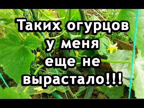 Выращивание огурцов в теплице без хлопот. Урожай огурцов в июне.