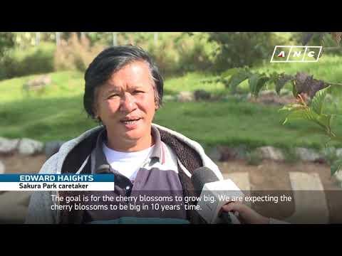 Sakura bloom in Benguet   ANC
