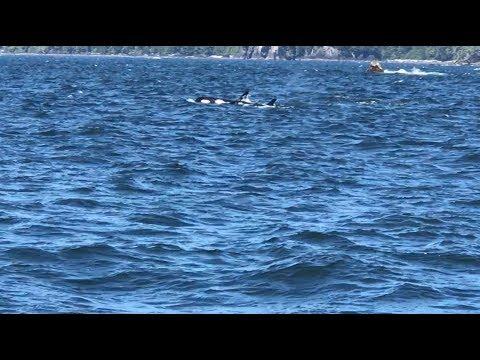Wild Orca Pod Swimming/ Hunting (Raw Recordings)