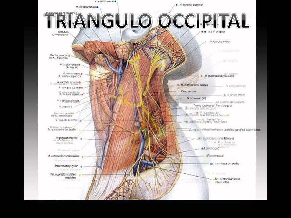 Triangulo Posterior Y Venas Del Cuello - YouTube