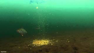 Подводные съемки подо льдом, Прикормка и рыба