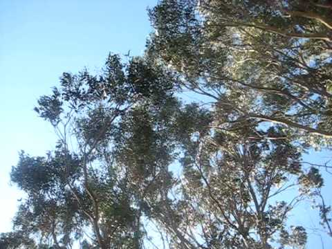 Eucalyptus in Wind and Traffic - Part II