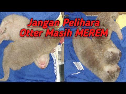 Join pecinta musang & otter di Facebook INDONESIAN MUSANG OWNER *Facebook Group: INDONESIAN MUSANG OWNER....