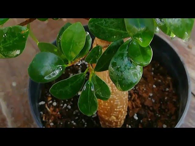 نبات فيكس بونساي اهم احتياجاته والظروف الملائمة له Youtube