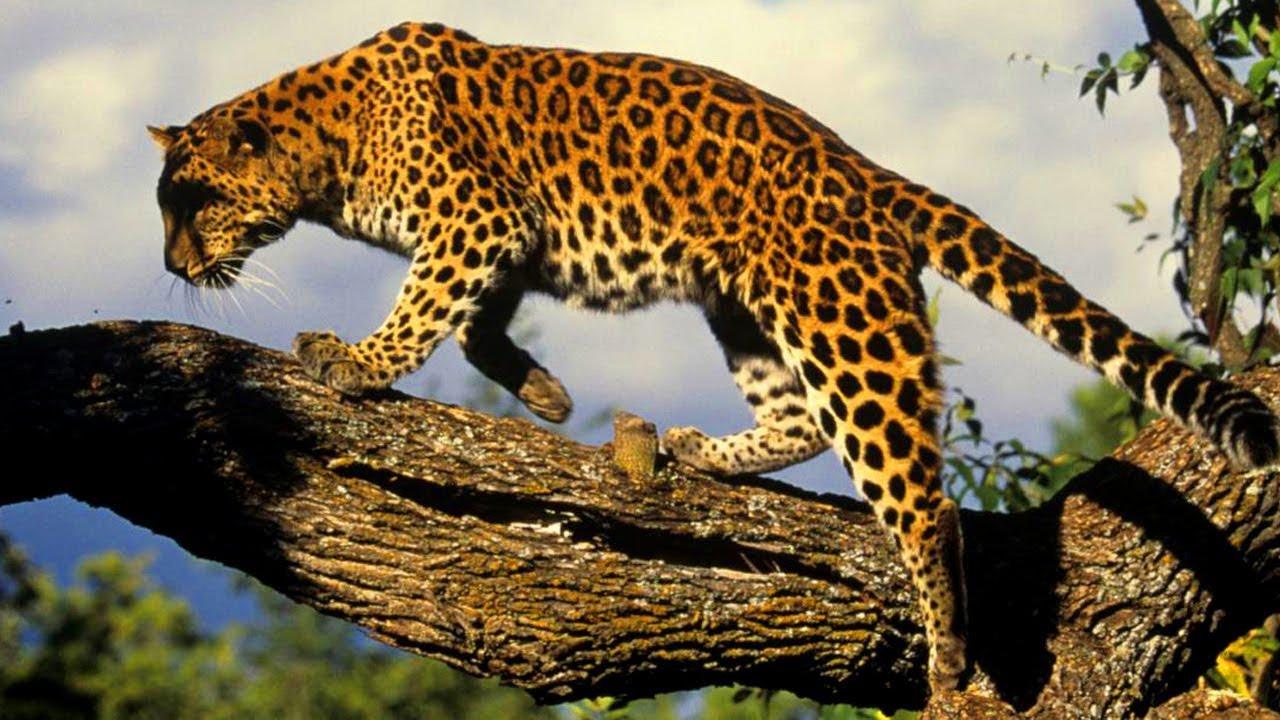 amur leopard facts
