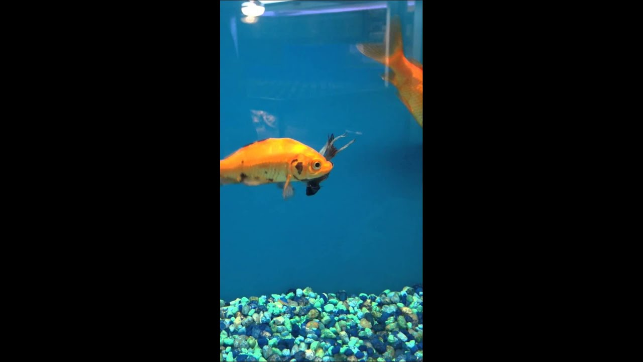 Petco goldfish eats betta poor guy youtube for Betta fish petco