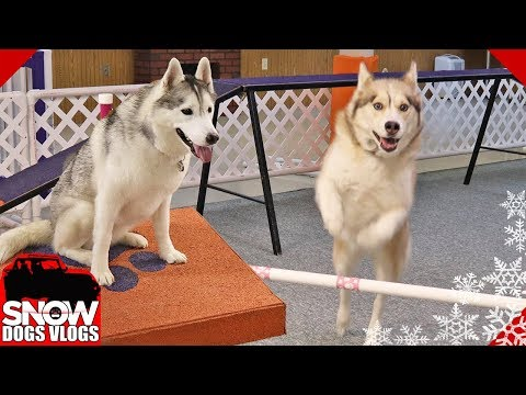 Huskies Do Agility Practice and Oakley Goes Crazy