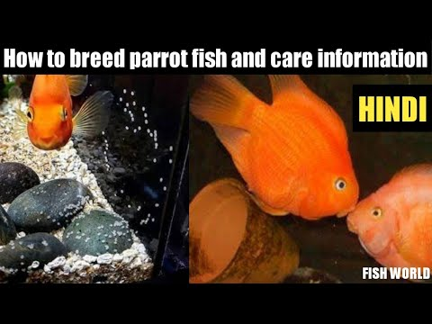 How To Breed Parrot Fish And Care Info !!