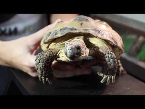 Среднеазиатская черепаха. Секреты содержания в домашних условиях