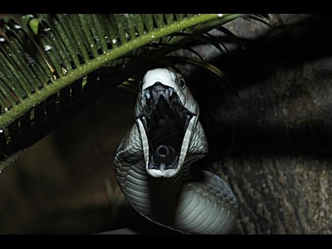 Africa 3d Live Wallpaper Black Mamba Facts The Most Dangerous Snake Black Mamba