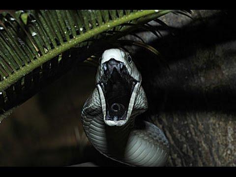 black mamba facts dangerous snake black mamba youtube