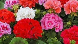 Вместо виолы — пеларгония: в Сочи меняют летние цветы на зимние(На курорте меняют однолетние растения на более устойчивые к холодной погоде. Во всех районах Сочи пересажи..., 2014-11-17T16:38:25.000Z)