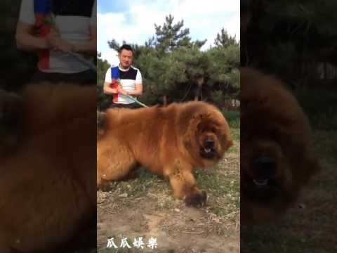 Dangerous Dog # Tibetan Mastiff