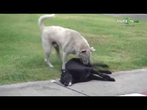 สุดเวทนา วางยาฆ่าหมาเฝ้าจยย.ของกลาง หมาครางกอดช่วยเพื่อน