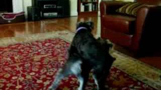 "Schnauzer ""morning Dance"""