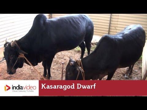 Kasaragod Dwarf - a dwarf variety of cow in Kerala