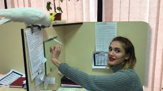 Попугай Какаду Кирюня на работе