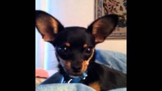 My Talking Pet : Lola The Bulldog Edition