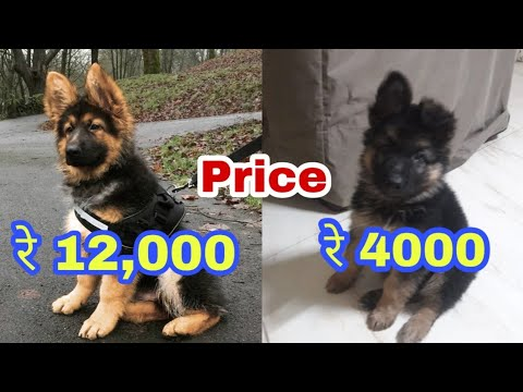 German shepherd price difference