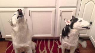 Siberian Husky Sings Happy Birthday