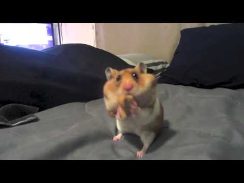 Hamster Eats TWO Dog Biscuits