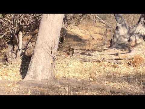 A leopard dive bomb!