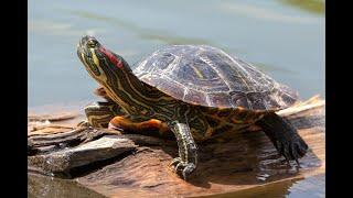 Самая большая черепаха Огромные когти. Animals & fish.
