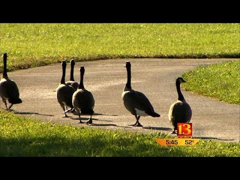 Only In Indiana: Geese Police