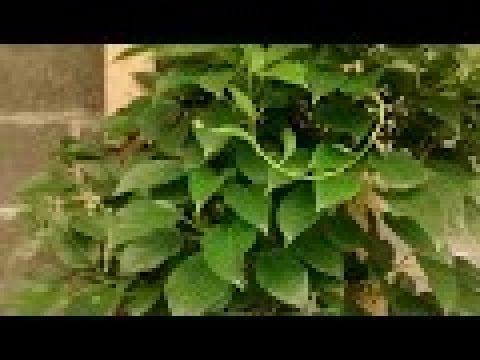 Free Issai Kiwi Fruit For Life Youtube