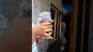 Persian cat for sales in tamilnadu....