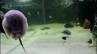Freshwater Stingrays, Mantilla, Motoro, Chiclids 600 gallon tank