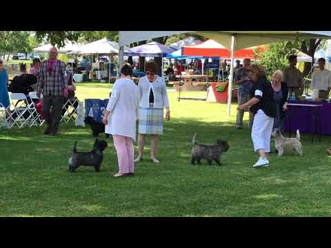 Breed judging at CTCNC Specialty 6/23/2018