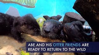 rescued-baby-otters-ready-for-release-abe-the-otter