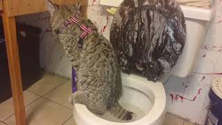 Cat Learns How to Use the Toilet - 989191