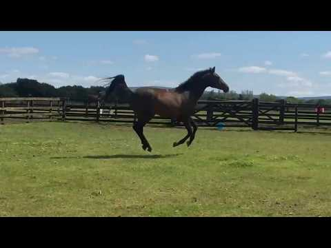 Japonica: Johnson X Freestyle (Florestan) 2 Year Old Filly