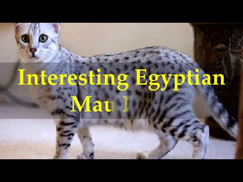 Interesting Egyptian Mau Facts