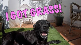 Percy the Labrador and his New Grass