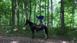 Sophie, flashy black roan sabino, ky mtn gaited trail horse for sale. Well broke