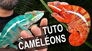 Chamaeleo calyptratus - Caméléon casqué du Yemen vidéo
