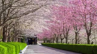 桜絵巻「佛教之王堂」The row of cherry trees as if unrolling a picture scroll The Royal Grand Hall of Buddhism
