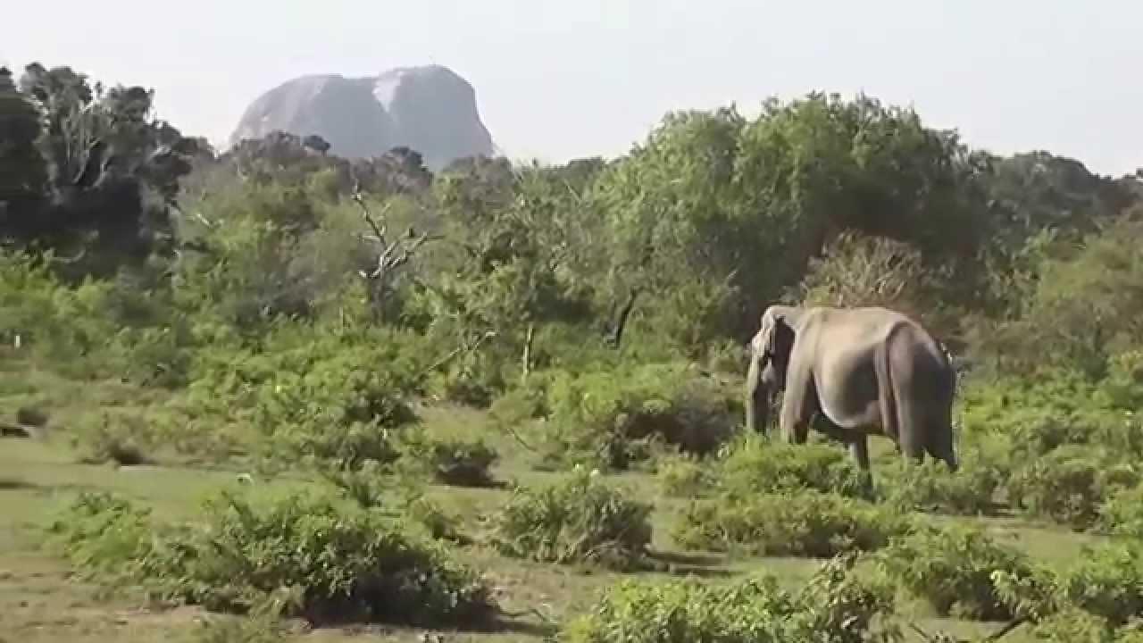 Elephant Before Elephant Rock Yala National Park Sri