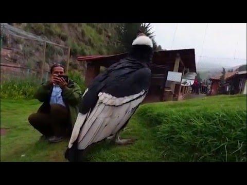 Peru Kondor  Andean Condor - Cuzco Dec. 2014